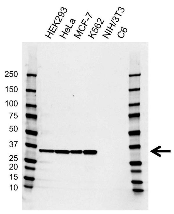 Anti EMD Antibody, clone AB01/4H6 (PrecisionAb Monoclonal Antibody) gallery image 1