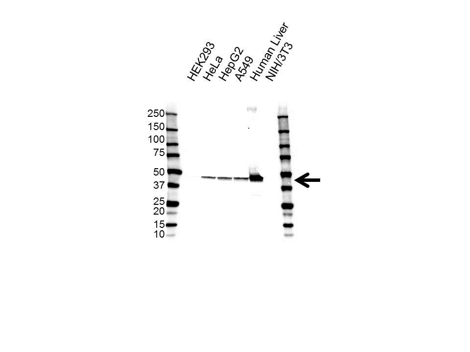 Anti EPHX1 Antibody, clone 2D8 (PrecisionAb Monoclonal Antibody) gallery image 1