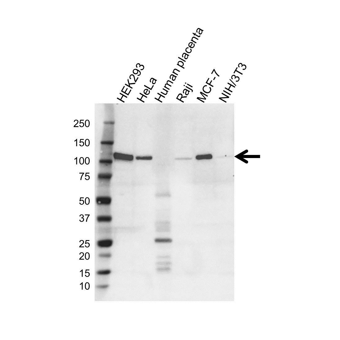 Anti Eplin Antibody, clone OTI1A3 (PrecisionAb Monoclonal Antibody) gallery image 1