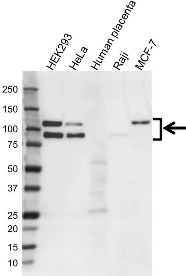 Anti Eplin Antibody, clone OTI9F3 (PrecisionAb Monoclonal Antibody) gallery image 1
