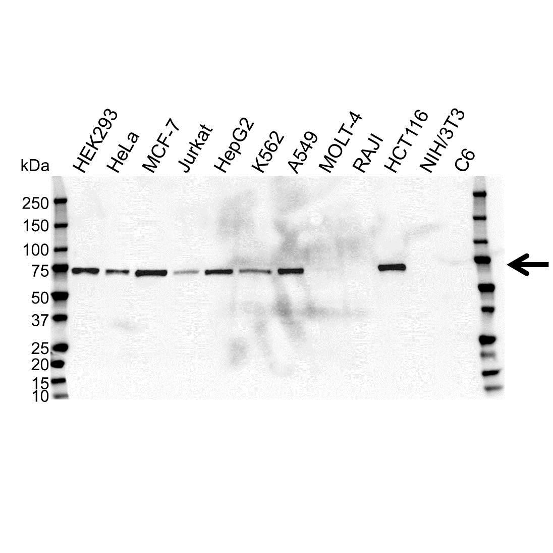 Anti EPN2 Antibody, clone OTI1H3 (PrecisionAb™ Monoclonal Antibody) gallery image 1