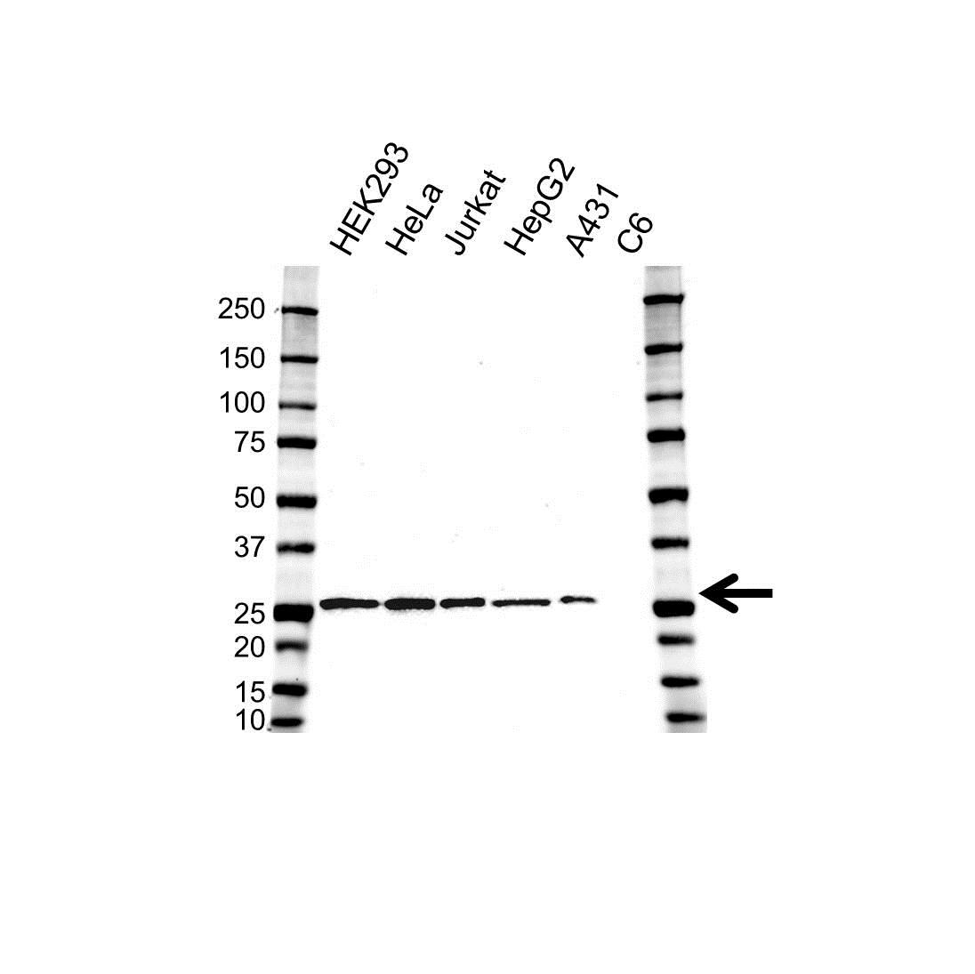Anti ERAB Antibody, clone OTI5E2 (PrecisionAb Monoclonal Antibody) gallery image 1