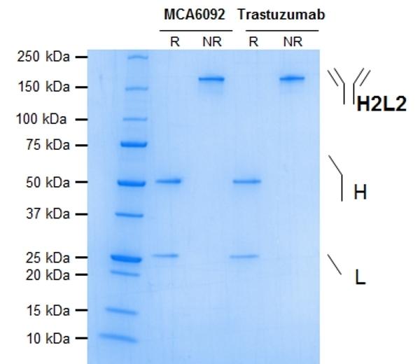 Anti ErbB2 (Trastuzumab Biosimilar) Antibody, clone 4D5-8 thumbnail image 1
