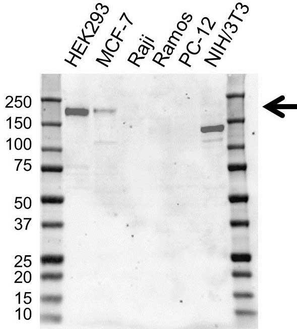 Anti ErbB4 Antibody, clone 3A10 (PrecisionAb Monoclonal Antibody) gallery image 1