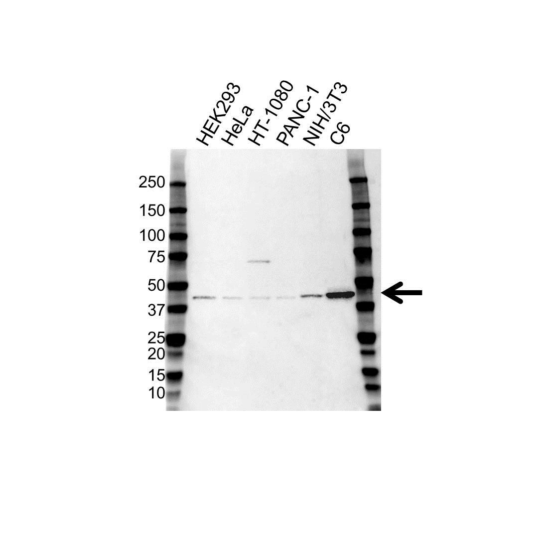 Anti ERK1 Antibody (PrecisionAb™ Monoclonal Antibody) gallery image 1