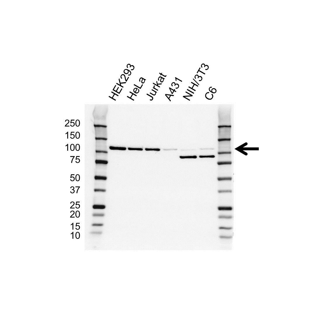 Anti ERK5 Antibody, clone OTI3D4 (PrecisionAb™ Monoclonal Antibody) gallery image 1