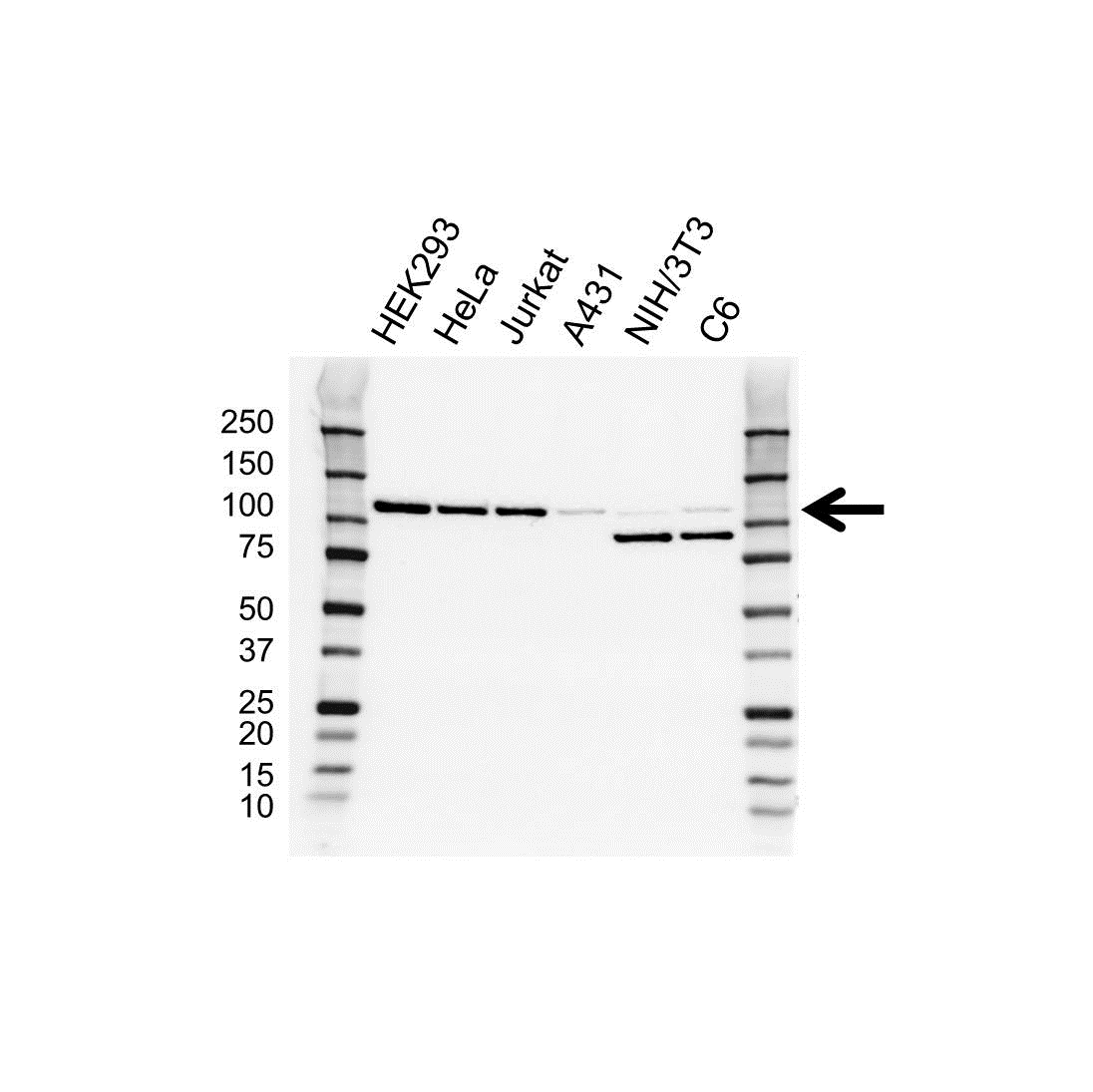 Anti ERK5 Antibody, clone OTI3D4 (PrecisionAb Monoclonal Antibody) thumbnail image 1