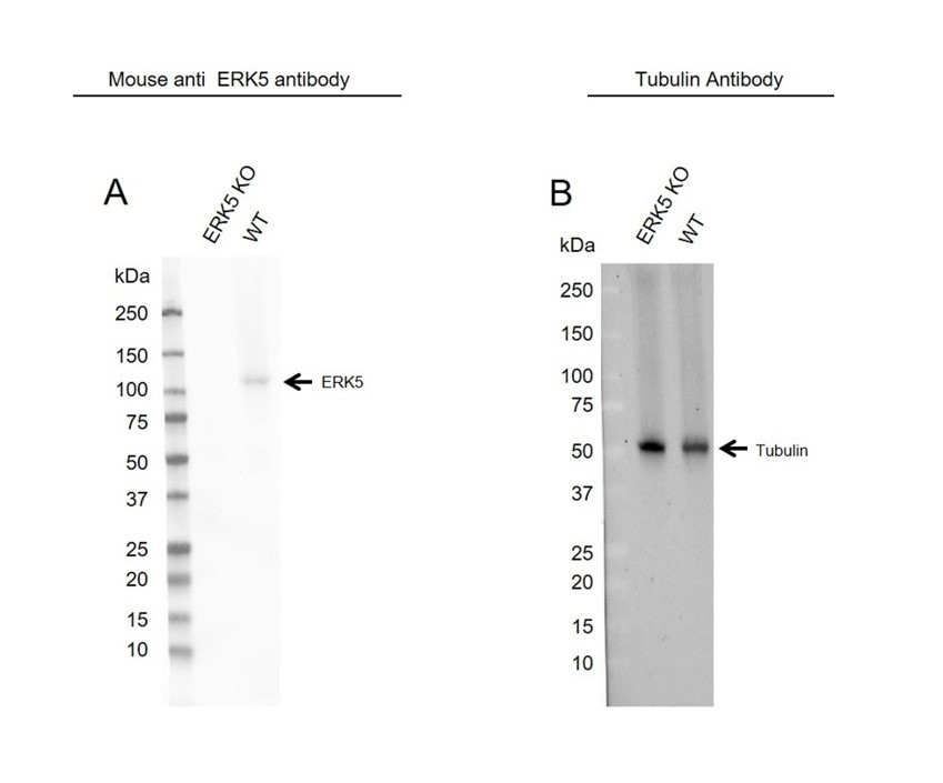 Anti ERK5 Antibody, clone OTI3D4 (PrecisionAb Monoclonal Antibody) thumbnail image 2
