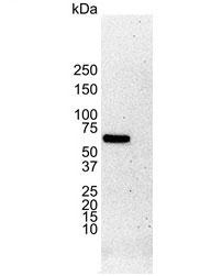 Anti Human Estrogen Receptor Alpha Antibody, clone 6F11 thumbnail image 3