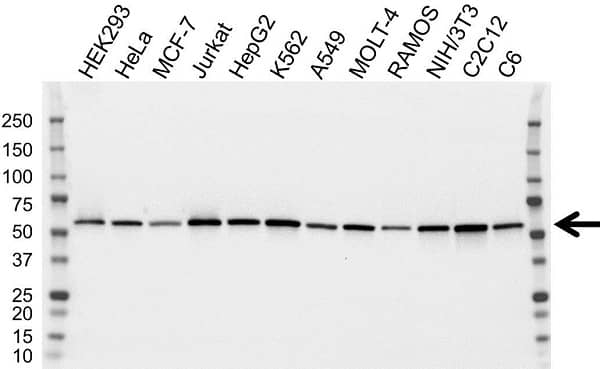 Anti ETS2 Antibody, clone OTI3E10 (PrecisionAb Monoclonal Antibody) gallery image 1