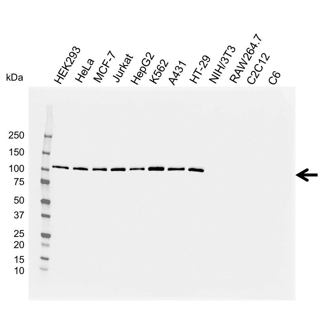 Anti EXPORTIN-1 Antibody (PrecisionAb™ Monoclonal Antibody) gallery image 1
