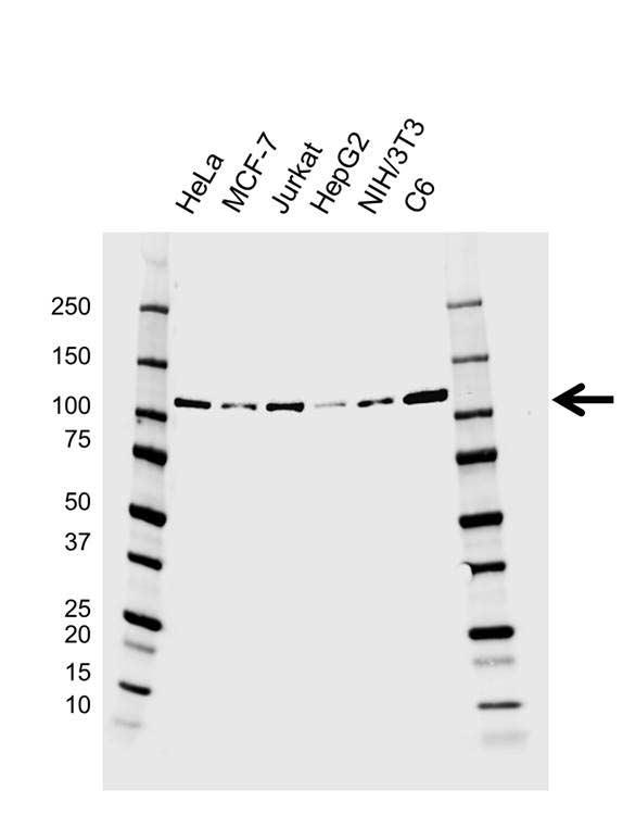 Anti EZH2 Antibody, clone EF01/1C3.H6.1 (PrecisionAb Monoclonal Antibody) gallery image 1