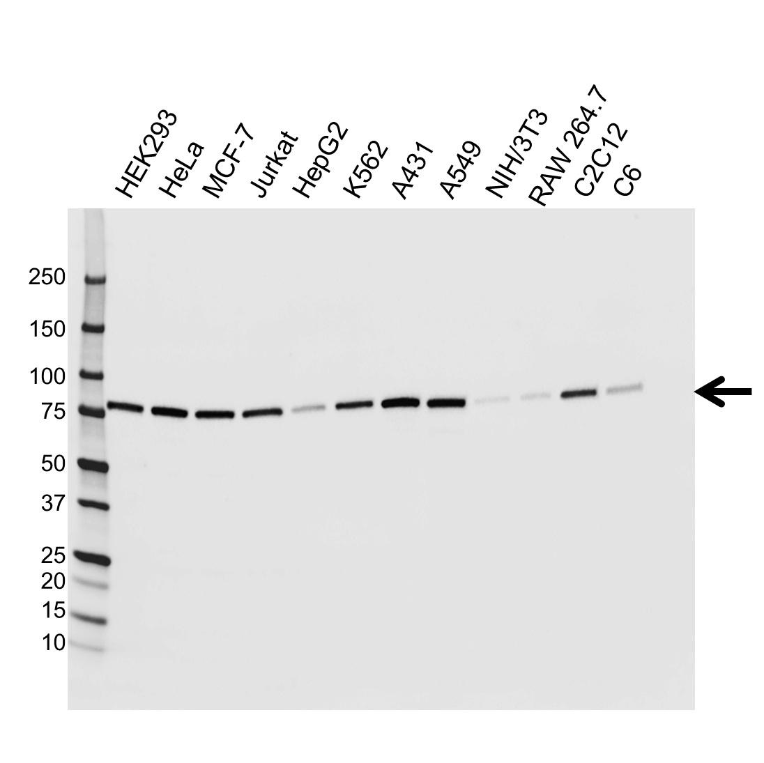 Anti Ezrin Antibody, clone CPTC26 (PrecisionAb Monoclonal Antibody) thumbnail image 1