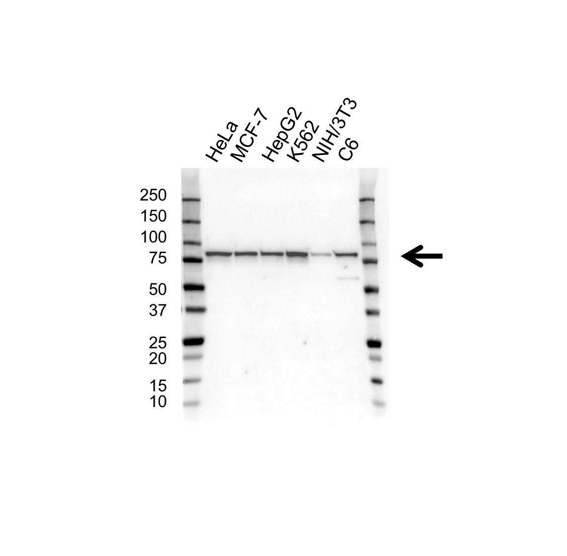 Anti Ezrin Antibody (PrecisionAb™ Monoclonal Antibody) gallery image 1