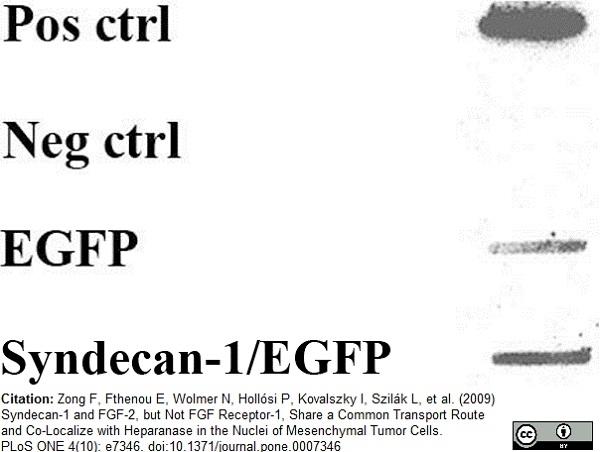 Anti Human FGF Basic Antibody, clone MC-GF1 thumbnail image 1