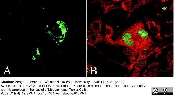 Anti Human FGF Basic Antibody, clone MC-GF1 thumbnail image 2