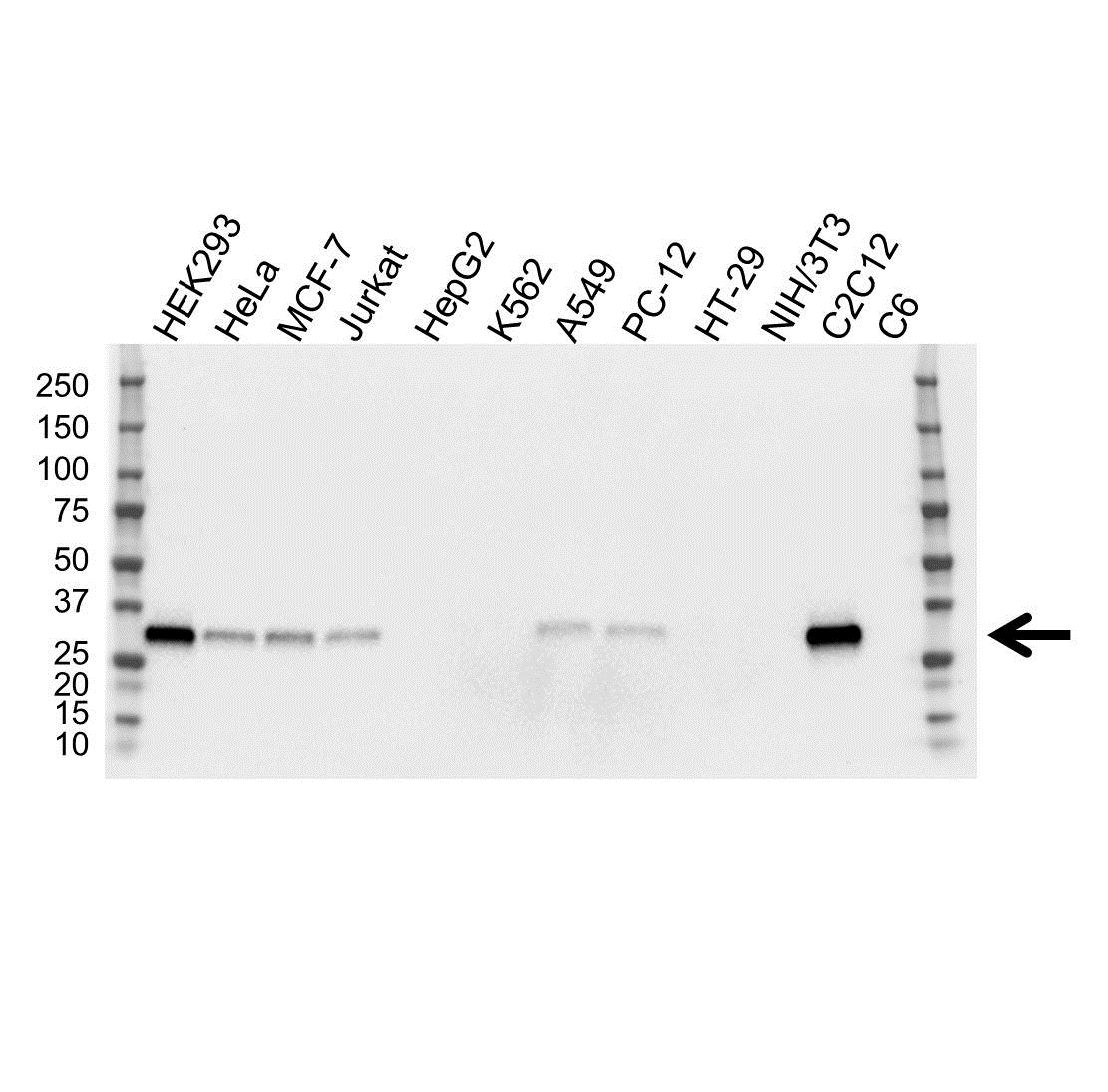 Anti FHL1 Antibody, clone OTI2E11 (PrecisionAb™ Monoclonal Antibody) gallery image 1