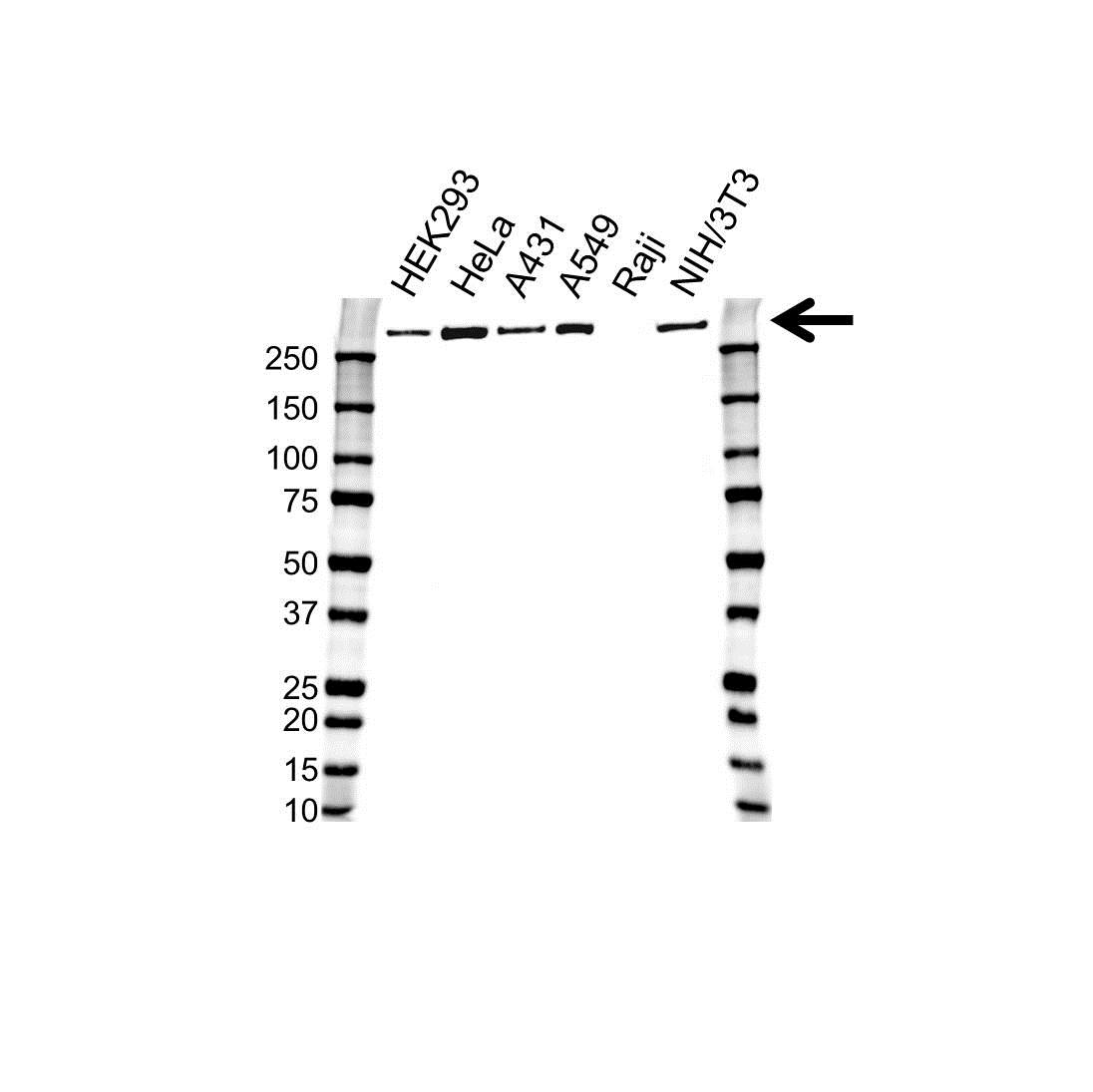 Anti Filamin-A Antibody (PrecisionAb Monoclonal Antibody) gallery image 1