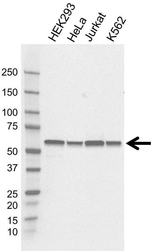 Anti FKBP4 Antibody, clone 4B02/1A9 (PrecisionAb Monoclonal Antibody) gallery image 1
