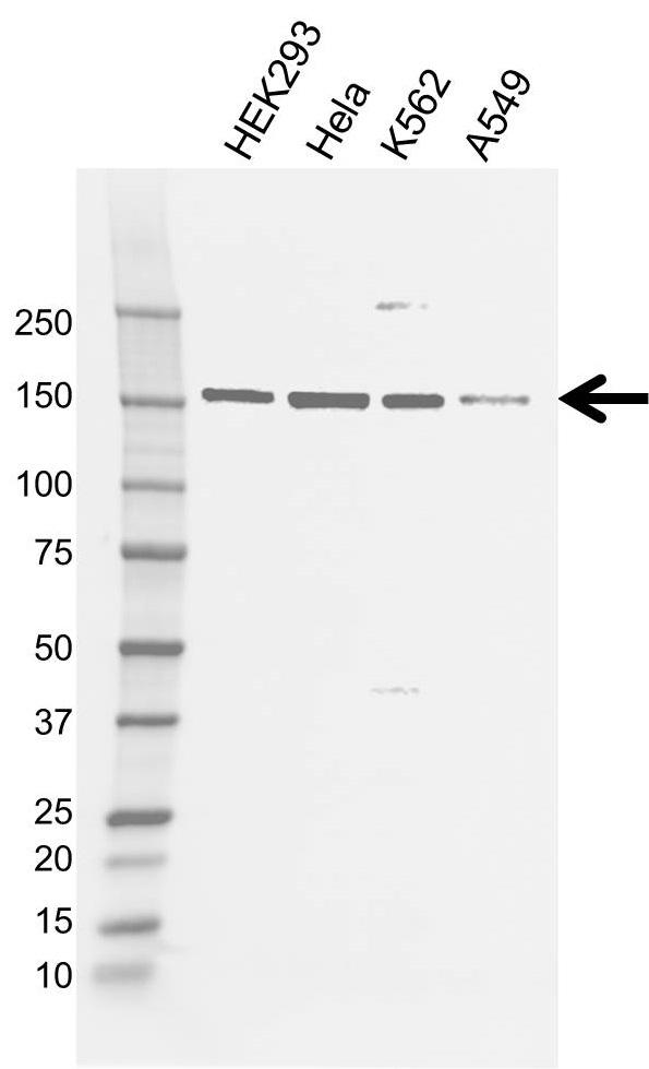 Anti Flii Antibody, clone AB01/1C12 (PrecisionAb Monoclonal Antibody) gallery image 1