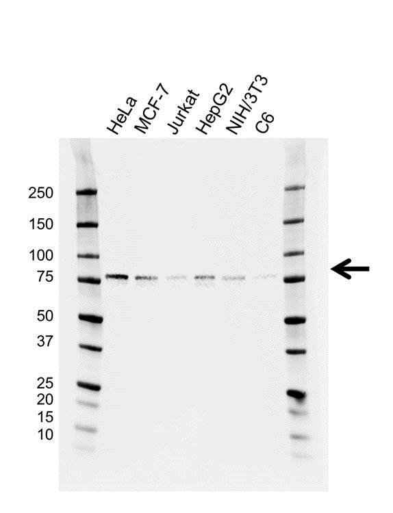 Anti FMR1 Antibody, clone GH01/4C9 (PrecisionAb™ Monoclonal Antibody) gallery image 1