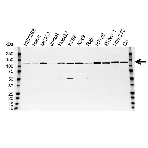 Anti Focal Adhesion Kinase Antibody, clone OTI4A8 (PrecisionAb™ Monoclonal Antibody) gallery image 1