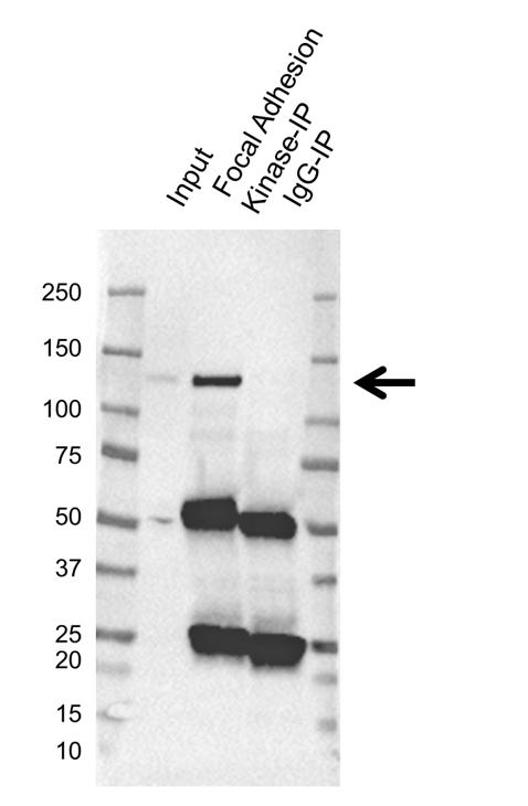 Anti Focal Adhesion Kinase Antibody, clone OTI4A8 (PrecisionAb Monoclonal Antibody) thumbnail image 2