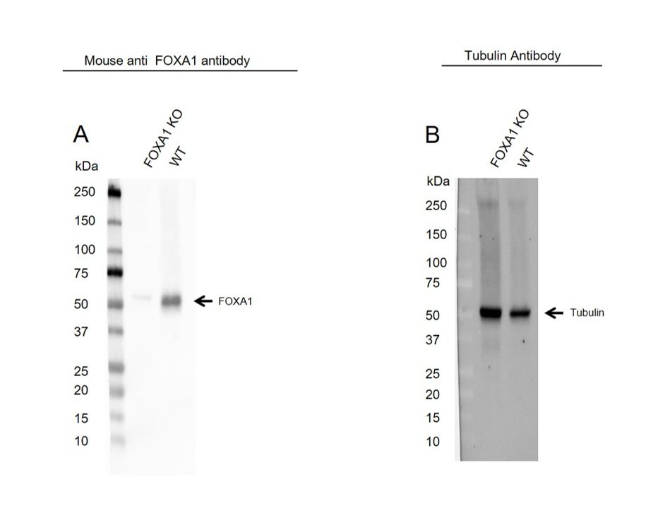 Anti FOXA1 Antibody, clone FOXA1/1512 (PrecisionAb Monoclonal Antibody) thumbnail image 1