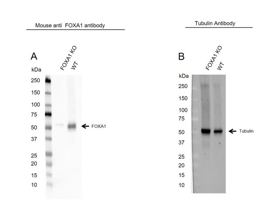 Anti FOXA1 Antibody, clone FOXA1/1512 (PrecisionAb Monoclonal Antibody) thumbnail image 2