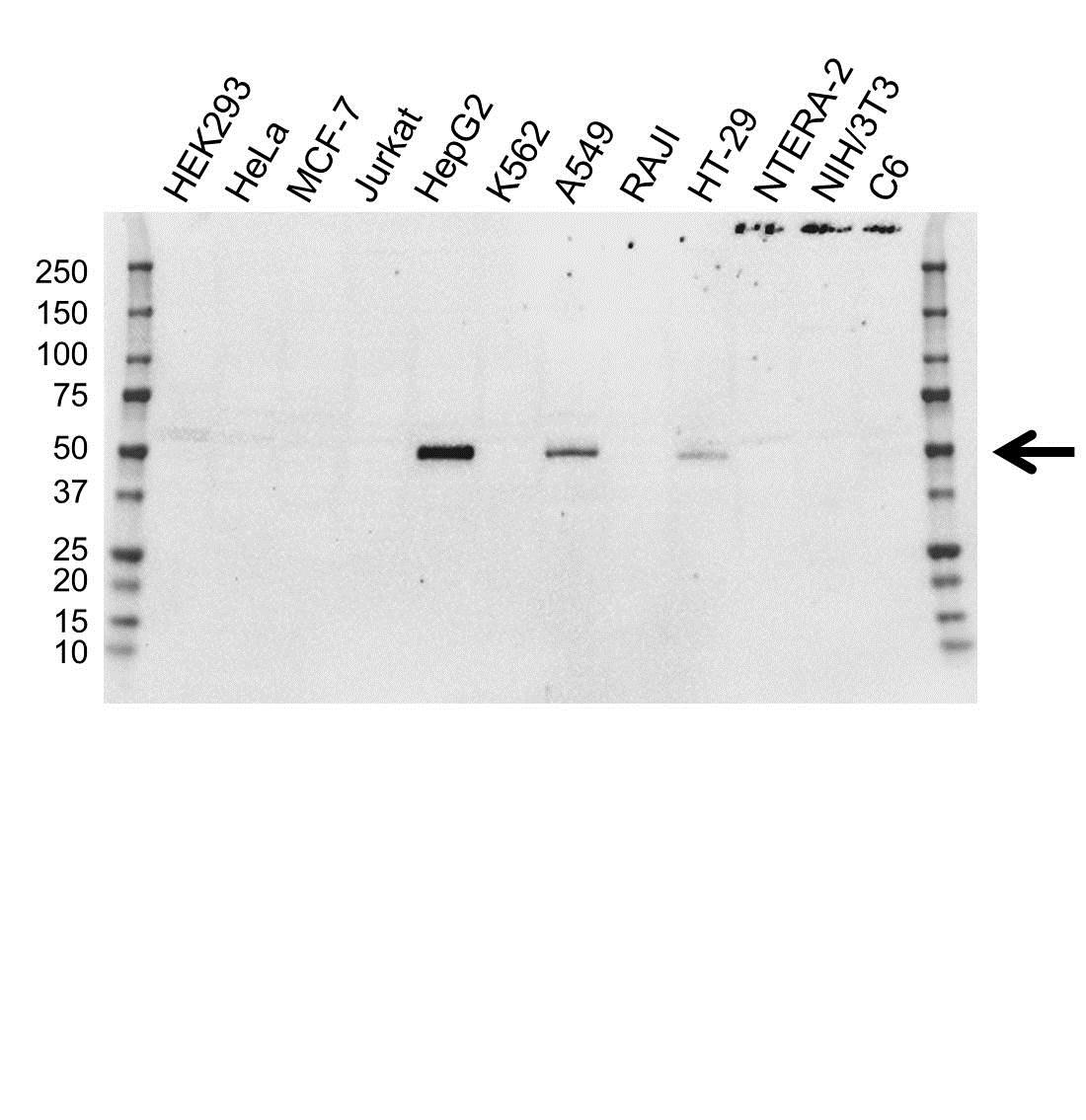 Anti FOXA2 Antibody, clone OTI3C10 (PrecisionAb Monoclonal Antibody) gallery image 1