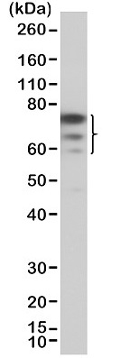 Anti FOXP1 Antibody, clone RM402 thumbnail image 1