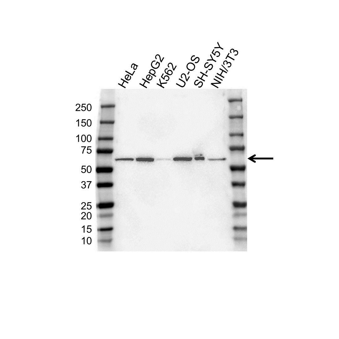 Anti FTO Antibody, clone OTI4A1 (PrecisionAb Monoclonal Antibody) gallery image 1
