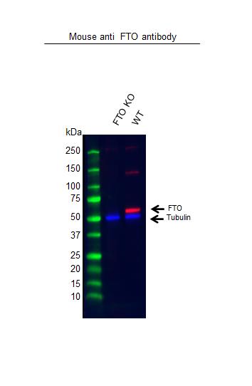 Anti FTO Antibody, clone OTI4A1 (PrecisionAb Monoclonal Antibody) thumbnail image 2