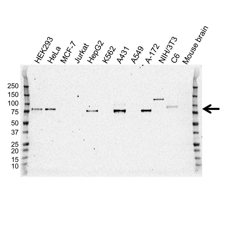 Anti Galectin-3 Binding Protein Antibody, clone OTI2B1 (PrecisionAb™ Monoclonal Antibody) gallery image 1