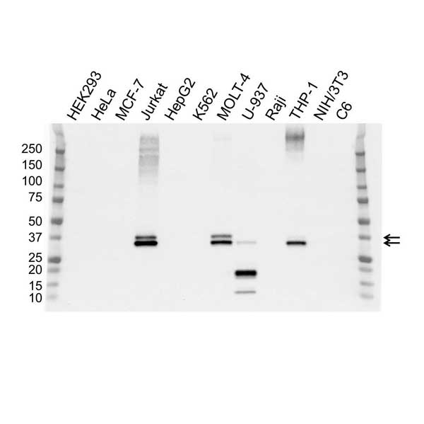 Anti GALECTIN-9 Antibody, clone OTI1G3 (PrecisionAb™ Monoclonal Antibody) gallery image 1
