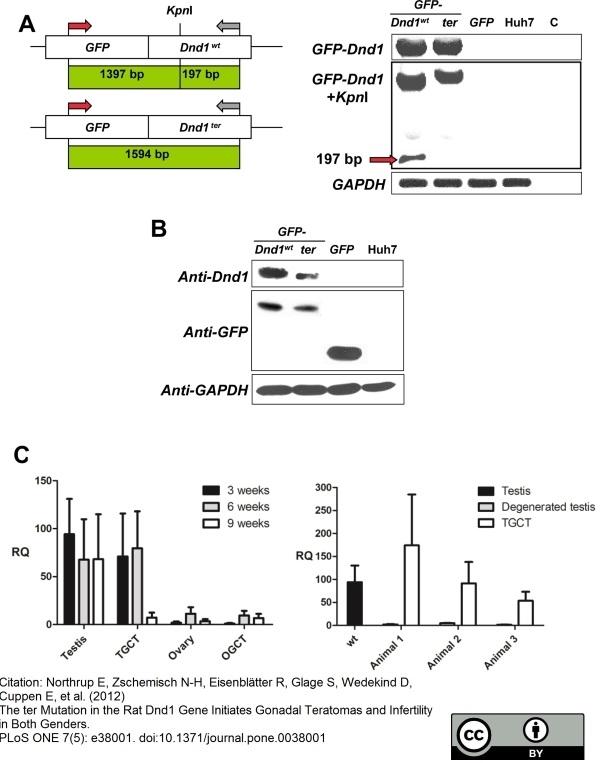 Anti Human GAPDH Antibody, clone 4G5 thumbnail image 1