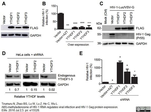 Anti Human GAPDH Antibody, clone 4G5 thumbnail image 2