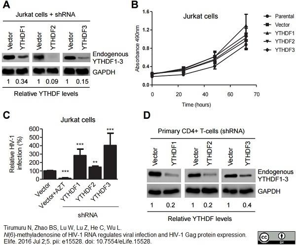 Anti Human GAPDH Antibody, clone 4G5 thumbnail image 3