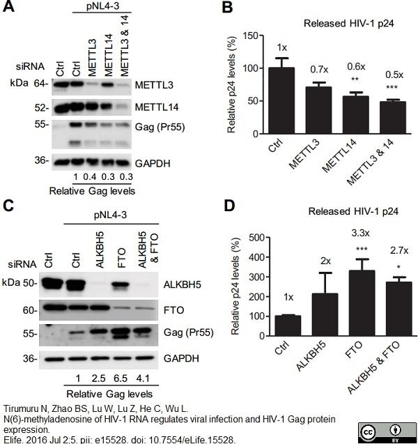 Anti Human GAPDH Antibody, clone 4G5 thumbnail image 4