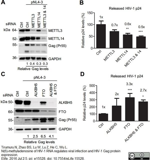 Anti Human GAPDH Antibody, clone 4G5 thumbnail image 5