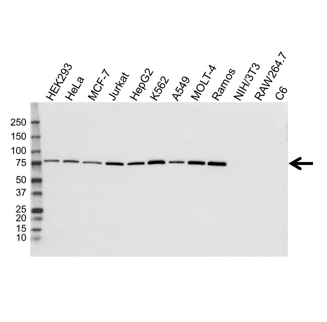Anti GARS Antibody, clone OTI4H8 (PrecisionAb Monoclonal Antibody) gallery image 1