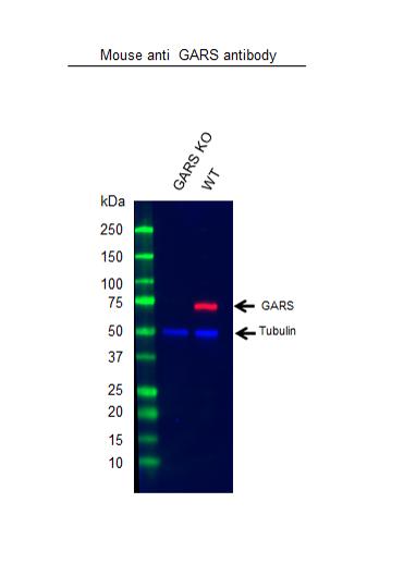 Anti GARS Antibody, clone OTI4H8 (PrecisionAb Monoclonal Antibody) thumbnail image 2