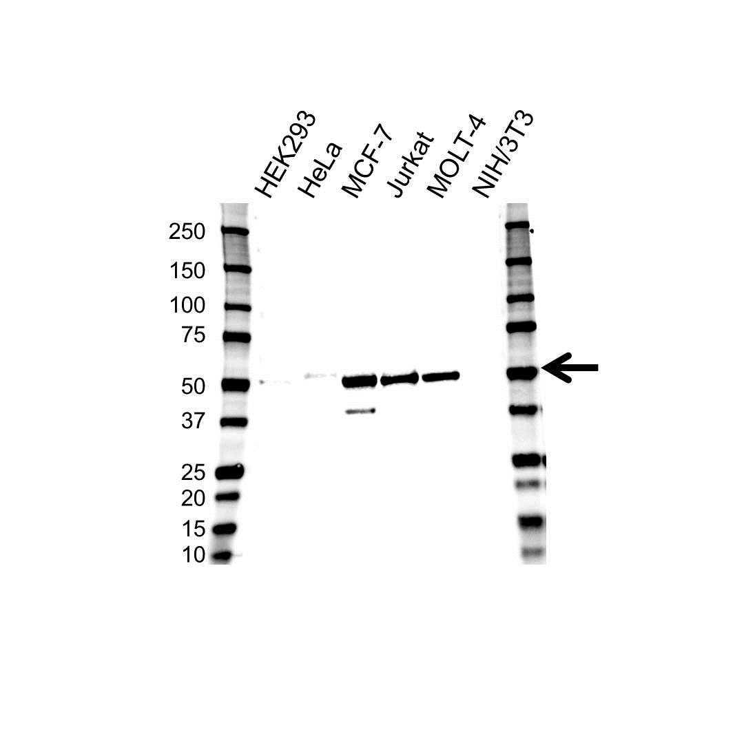 Anti GATA3 Antibody, clone OTI8H4 (PrecisionAb™ Monoclonal Antibody) gallery image 1
