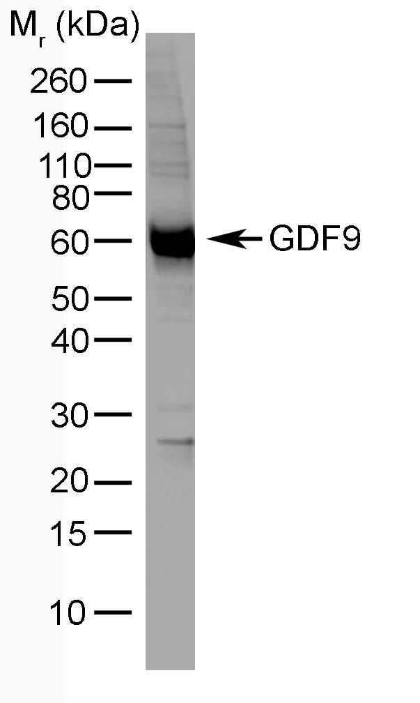 Anti Human GDF9 Antibody, clone mAb-GDF9-53 gallery image 1