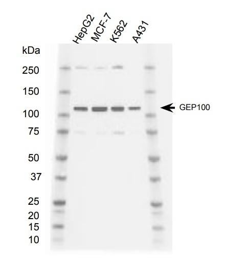 Anti GEP100 Antibody, clone AbD39152eg (PrecisionAb Monoclonal Antibody) gallery image 1