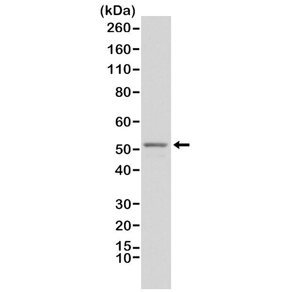 Anti GFAP Antibody, clone RM246 thumbnail image 1