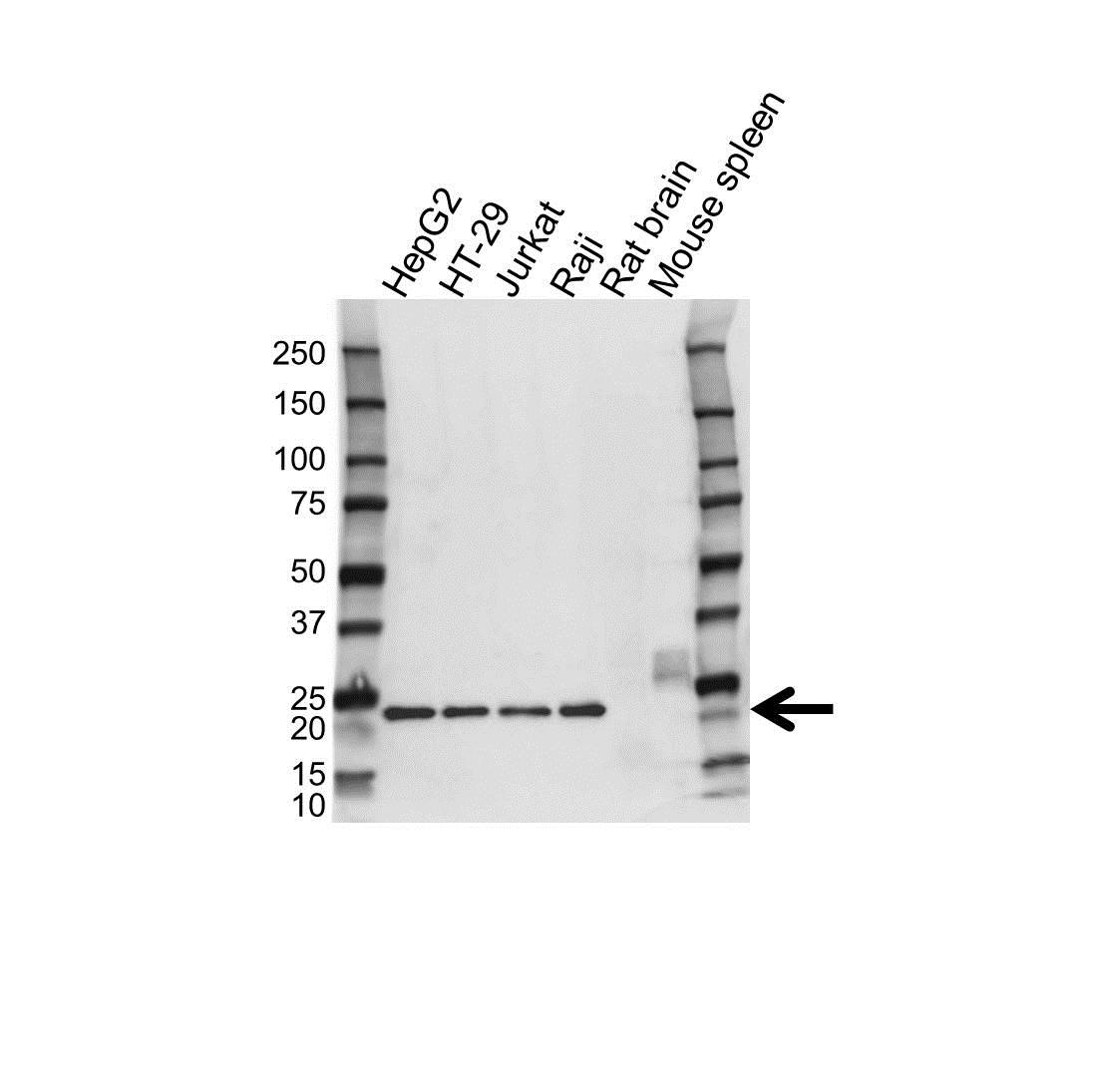 Anti Glucagon Antibody (PrecisionAb Monoclonal Antibody) gallery image 1