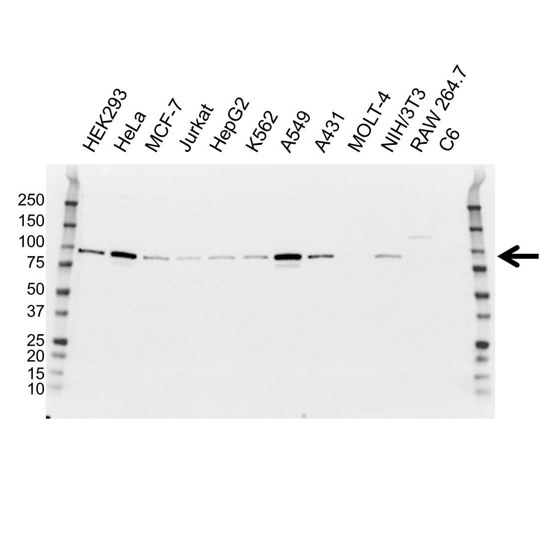 Anti Glucocorticoid Receptor Antibody, clone OTI2C4 (PrecisionAb Monoclonal Antibody) gallery image 1