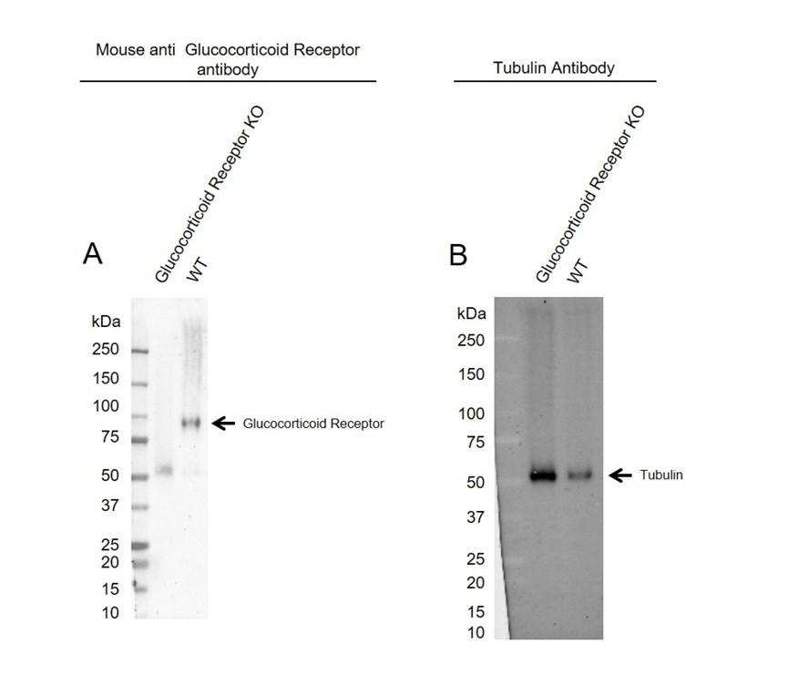 Anti Glucocorticoid Receptor Antibody, clone OTI2C4 (PrecisionAb Monoclonal Antibody) thumbnail image 1