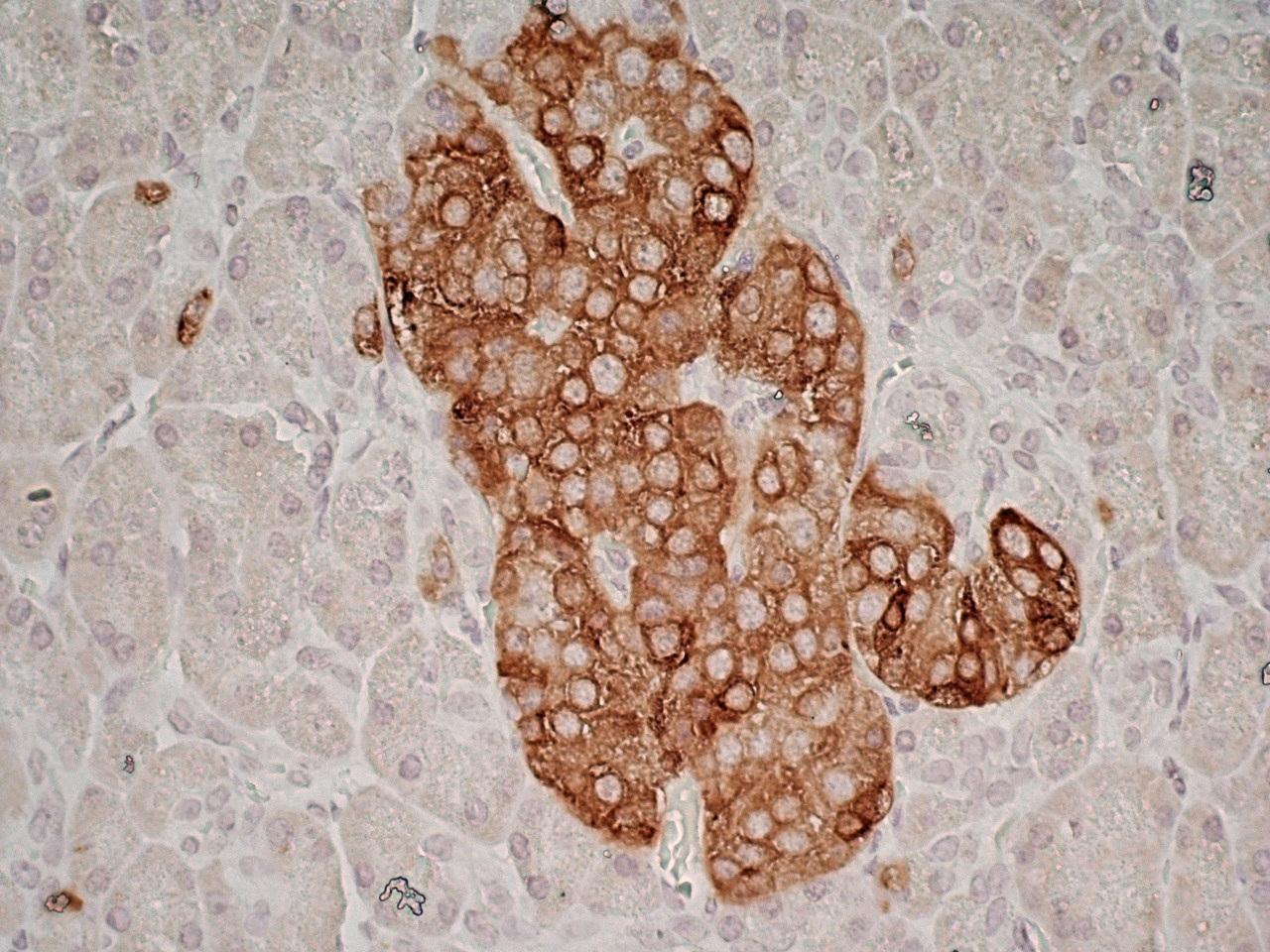 Anti Human Glutamate Decarboxylase 2 (N-Terminal) Antibody, clone N-GAD65 thumbnail image 4